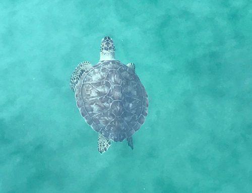 It's Almost Sea Turtle Season